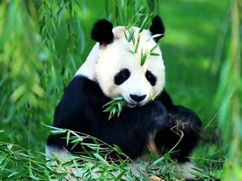 imagenes de osos navideños datos curiosos cu 225 nto duerme un oso panda im 225 genes de