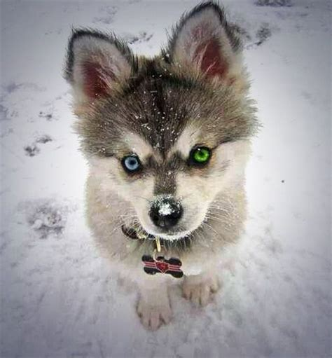 where can i buy a pomeranian husky mix 1000 images about pomsky on pomeranian husky pomeranians and pomsky puppies