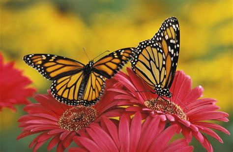 le schmetterling il segreto della migrazione della farfalla monarca focus it