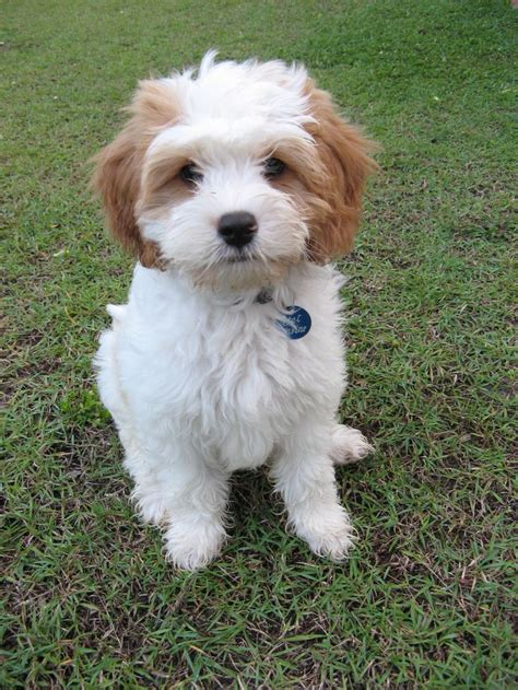oodles dogs cavapoo king charles spaniel poodle mix breeds picture