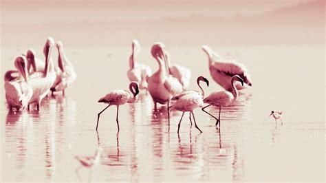 wallpaper flamingo hd high quality flamingo wallpaper full hd pictures