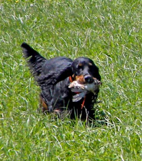 gordon setter dog club badgerland calendar of events