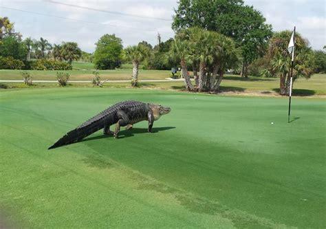 Giant 'dinosaur-looking' gator found on Florida golf ... Giant Alligator Dinosaur