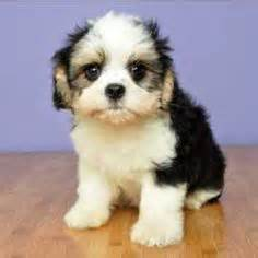 just puppies net 1000 images about shih tzus on shih tzu shih tzus and shih tzu puppy