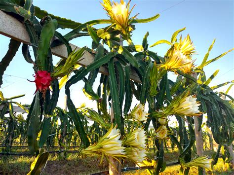 Click And Grow Amazon Pitaya Cactus Www Pixshark Com Images Galleries With A
