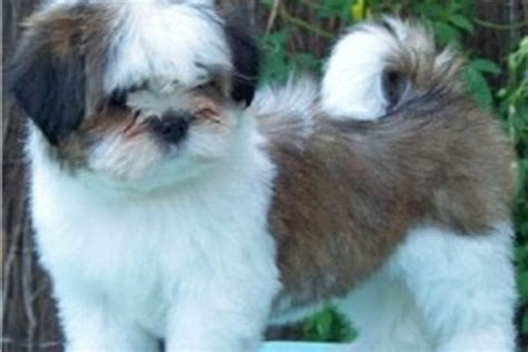 find a puppy to adopt how to find small dogs for adoption ehow