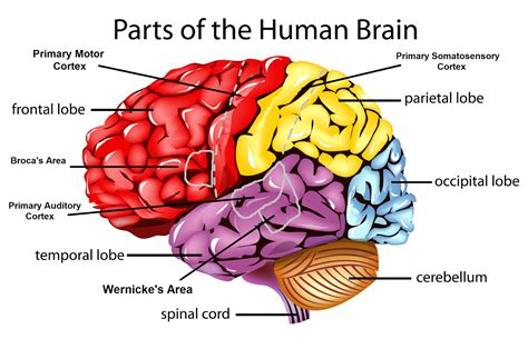 sections of the brain and what they control psychology brain diagram 28 images brain functions
