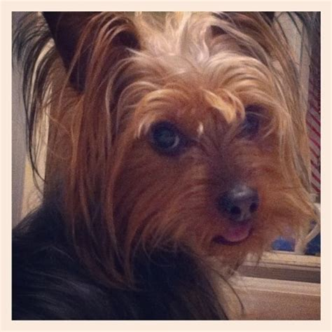 silky yorkie haircuts pics of silky yorkie haircuts for females yorkie silky terrier haircuts yorkie sep