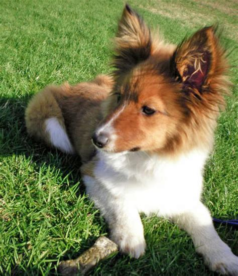 papillon mix puppies jibber the papillon mix dogs daily puppy