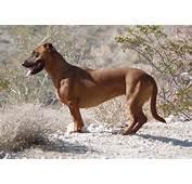 Dachshund X Labrador = Dachsador  Start Thinking Right
