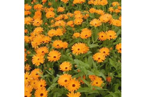 fiori calendula piante officinali calendula fiori taglio tisana