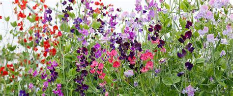 Bibit Bunga Sweet Pea Mix Colour Bunga Cantik jual benih bibit seed bunga sweet pea knee high mix bunga