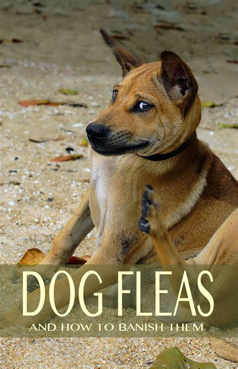 treating dog fleas in the house dog fleas and flea treatments for dogs and puppies