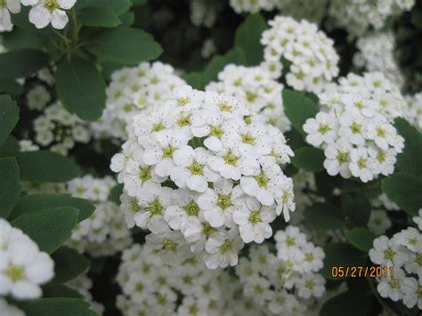 white flower shrub fragrant fragrant white flowering shrub identification pictures to