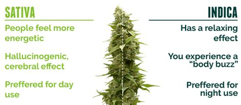 which is better or indica cannabis indica vs marijuana doctors