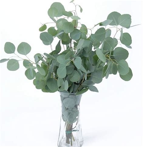Bunga Dollar Benih Eucalyptus Silver Dollar 5 Biji Non Retail