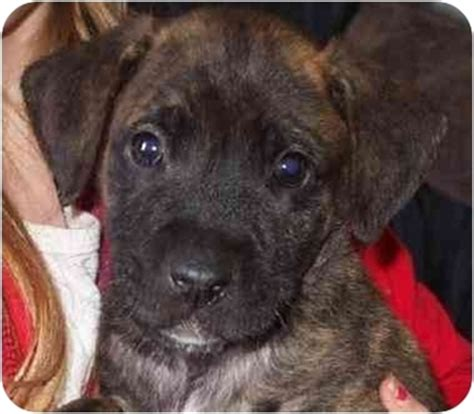 german shepherd boxer puppies emily adopted puppy 1322125 redding ca boxer german shepherd mix