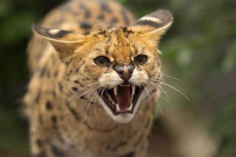 Serval a wild cat face teeth rage jaws teeth wallpaper