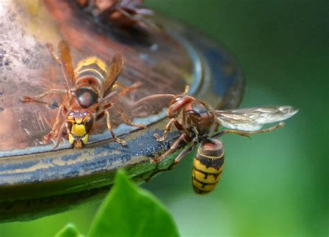 european hornets at hummingbird feeder what s that bug