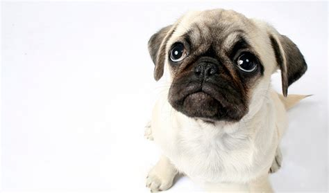 pug breed pug breed information