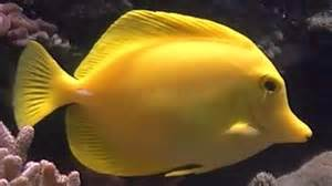 Yellow Tang (Zebrasoma flavescens)   Tropical Fish   YouTube