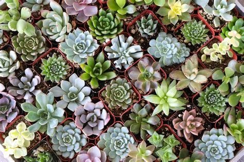 Succulent Planters by 2 Quot Assorted Succulent Succulents For Sale Bulk Succulent
