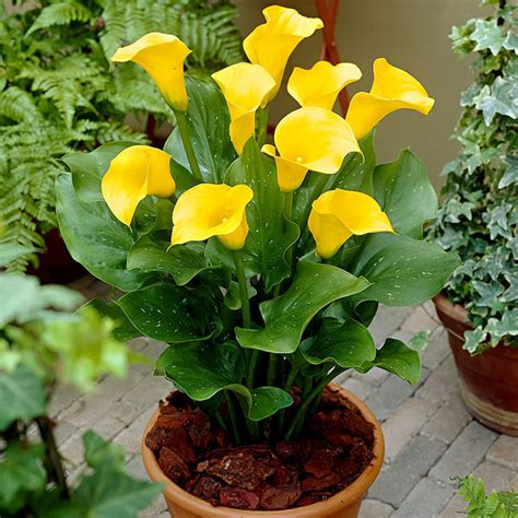 buy calla lily yellow bulbs online at nursery live