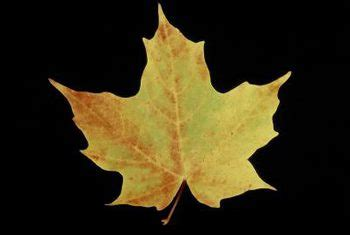 maple tree leaf shape how to identify maple tree seed sprouts home guides sf gate