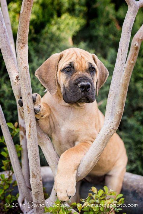 boerboel mastiff puppies 17 best ideas about bull mastiff dogs on mastiff dogs neopolitan mastiff