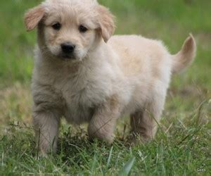 free puppies montgomery al pets montgomery al free classified ads