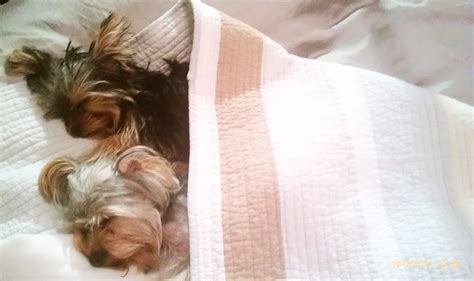 my yorkie has bad breath 1000 images about yorkies on pets puppys and