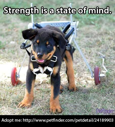 rottweiler rescue omaha 21 best images about special needs pets on calico cats cats and home