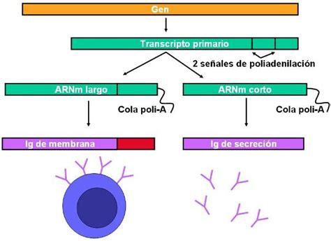 enfermedad de cadenas ligeras y pesadas genes de las cadenas pesadas de las inmunoglobulinas