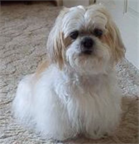 shih tzu vs lhasa apso differences between lhasa apso and shih tzu difference between