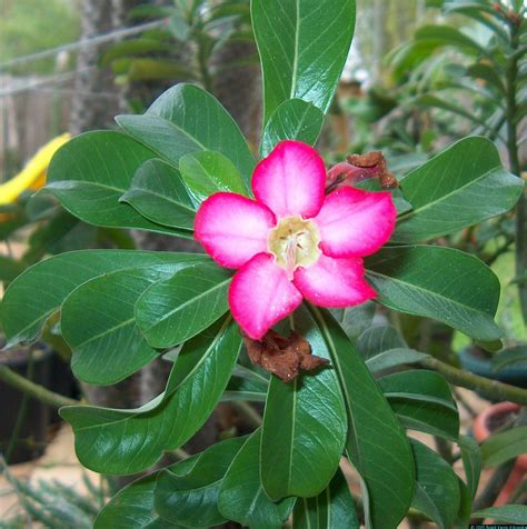exotic house plants adenium obesum flower 3 of 184