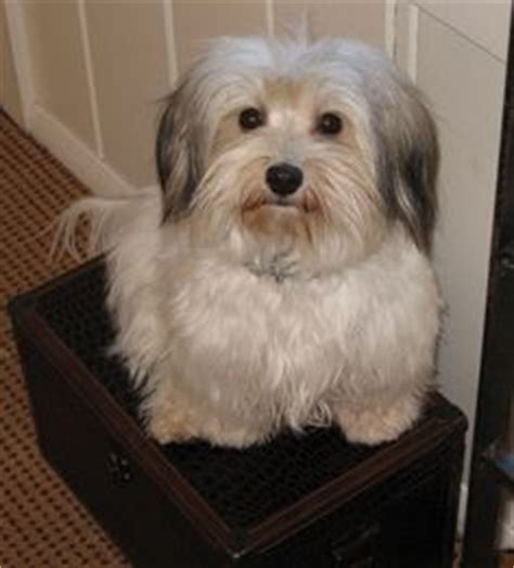 havanese grooming puppy cut 1000 ideas about havanese grooming on havanese puppies havanese puppies