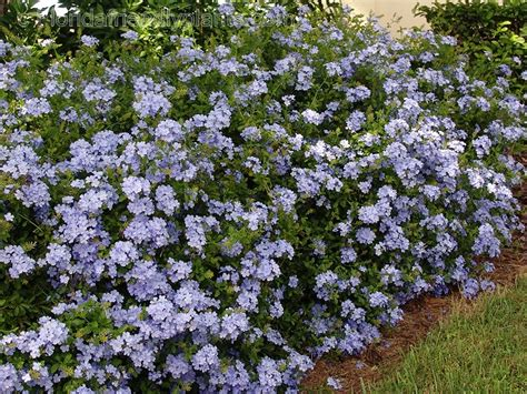 climbing hedge plants plumbago ariculata a climbing shrub makes a