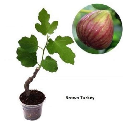 Jual Bibit Buah Tin Unggul jual bibit buah tin brown turkey 50 cm jual bibit