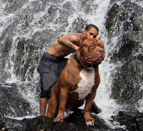 how to pitbull puppies to be guard dogs this is the world s toughest guard who can run up walls viral fancy