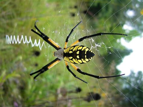 Garden Orb Spider Poisonous The World S Catalog Of Ideas