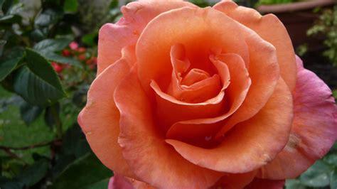imagenes de rosas terciopelo stock de fotos gratis rosas de terciopelo de color rosa