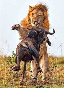 Southwestern Houses dramatic photos of lion hunt a wildebeest freeyork