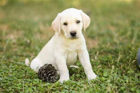 comfort retriever puppies for sale comfort retrievers for sale 28 images adorable golden