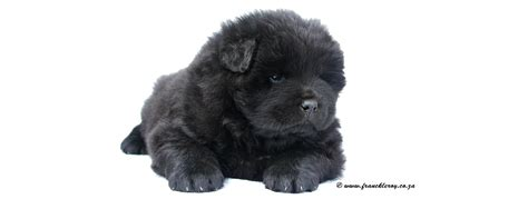 black chow puppy black chow chow puppies www pixshark images galleries with a bite