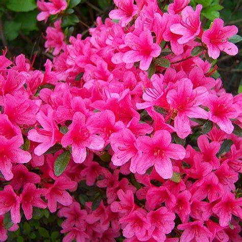 azalea evegreen  anouk azaleas rhododendrons