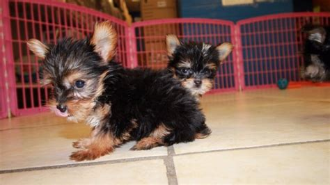 teacup yorkie puppies for sale chicago teacup yorkie poo puppies for sale in breeds picture breeds picture