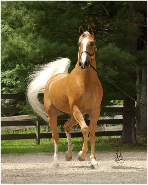 palomino arabian stallion gif by sparklegrl123 photobucket