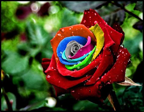 imagenes de rosas para descargar descarga estas fotos de rosas de colores ramos de flores