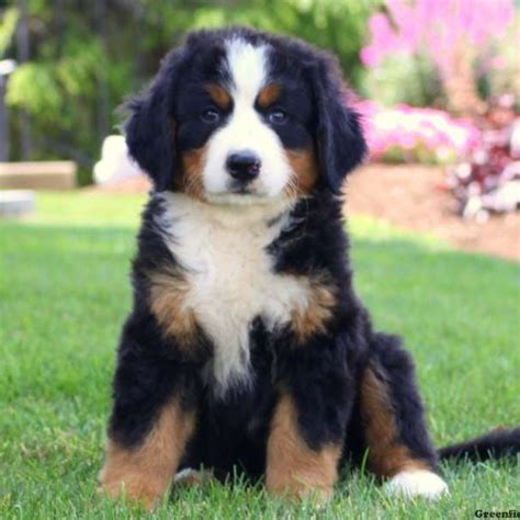 mountain puppies bernese mountain puppies for sale greenfield puppies