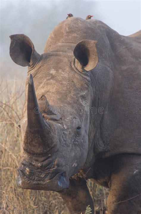 rhino portrait 2 royalty free stock photos image 32338468